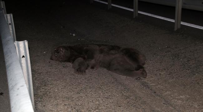 Sivas'ta otomobilin çarptığı ayı telef oldu
